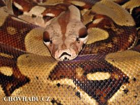 Boa constrictor pastel