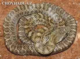 Elaphe climacophora - mládě