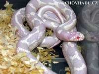 Lampropeltis g. californiae - high white lavender albino