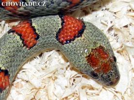 Lampropeltis mexicana thayeri