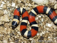 Lampropeltis triangulum campbelli