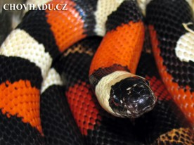lampropeltis-triangulum-campbelli3