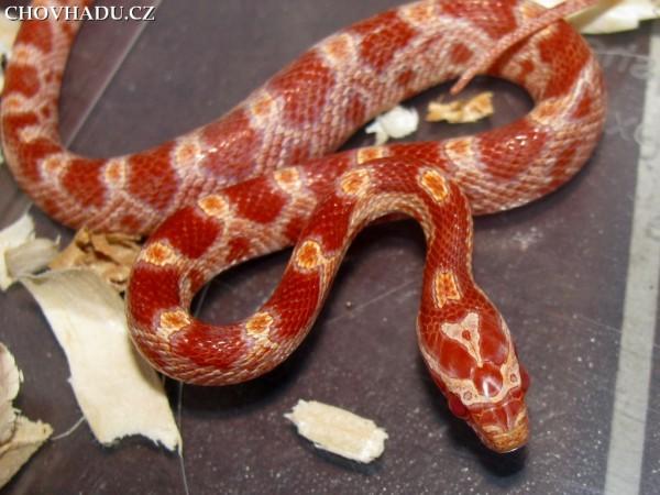 pantherophis-guttatus-albino